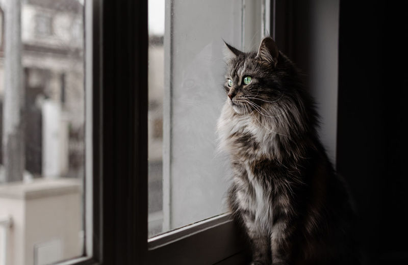 Window Animal Themes One Animal Indoors  Close-up Looking Through Window Domestic Animals Pets No People Mammal Day Majestic Majestic Creature Mainecoon Beauty Looking Standing Portrait Cat Feline Indoors  Domestic Cat Capture Tomorrow