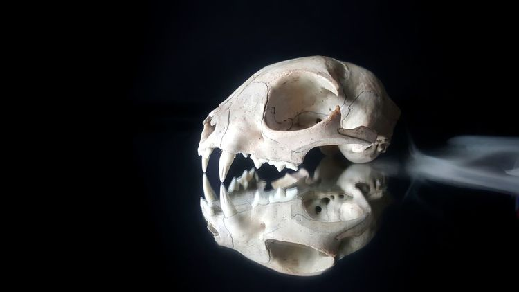 Reflection on Halloweens Past Cat Cat Skull Teeth Mirror Black Background Reflection Halloween Haunted Spooky Creepy Autumn Fall Death Fragility Existence Black Background Studio Shot Close-up Anatomy Skeleton Bone  Skull Animal Bone Animal Skeleton Animal Skull