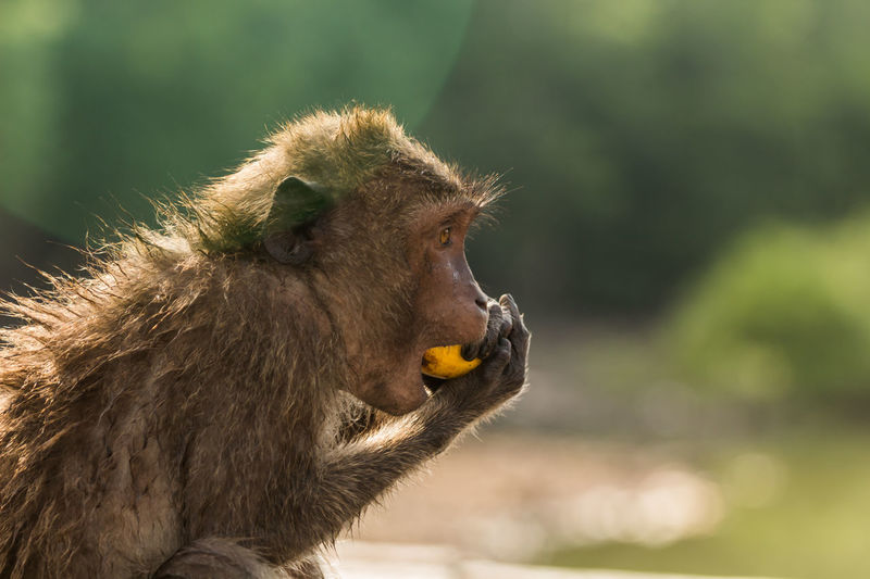 Side view of long-tailed macaque eating banana in zoo