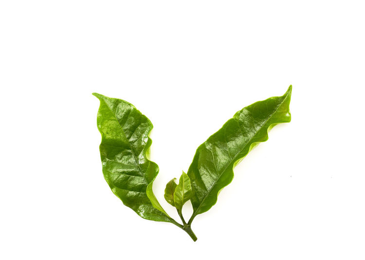 Close-up of green leaf against white background