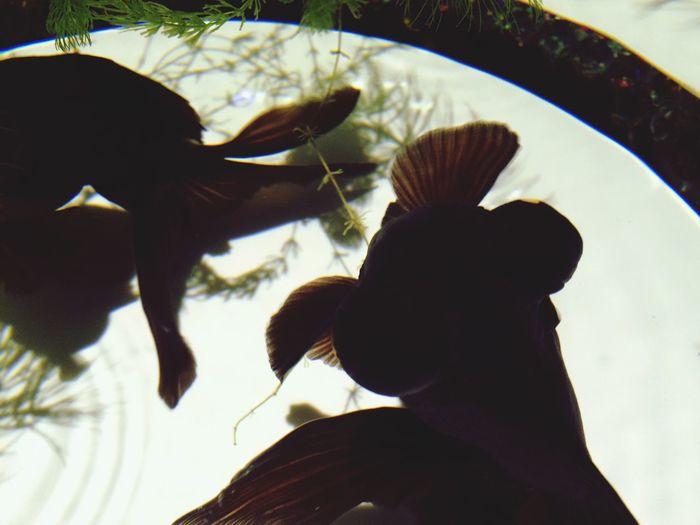 """Art Aquarium 2014 Goldfish Cute this goldfishs are calld """"deme-kinn"""""""