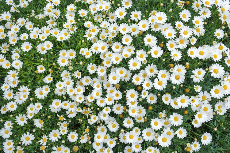 Daisies from an overhead perspective Daisies Green Nature Abundance Asteraceae Asteraceae Family Beauty In Nature Bloom Blooming Blooming Flower Close-up Day Flowerbed Flowers Growth No People Outdoors Overhead Petal Plant Pretty Springtime White Yellow
