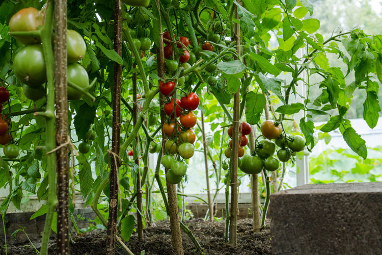 Red and green tomatoes Agriculture Beauty In Nature Day Food Food And Drink Freshness Fruit Green Color Growth Healthy Eating Leaf Nature No People Outdoors Plant Plant Part Red Ripe Tomato Tree Vegetable Wellbeing