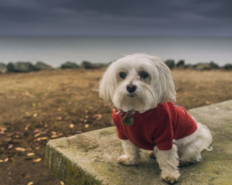 Winston on the shore of the Bay Dog In Sweater Maltese Dog Pet Photography  Cute Pets San Francisco San Francisco Bay