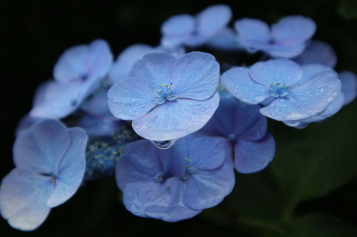Flowering Plant Flower Plant Beauty In Nature Close-up Inflorescence Freshness Fragility Flower Head Growth Nature Petal Vulnerability  Purple Blue Focus On Foreground After The Rain EyeEm Best Shots Taking Photos EyeEm Gallery CaptureTheMoment June Raindrops Hydrangea Botany