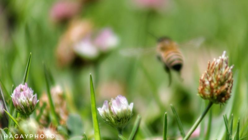 Flower Nature Plant Fragility Outdoors Grass Day Growth Focus On Foreground Beauty In Nature Uncultivated No People Animal Themes Flower Head Bee Bee 🐝 Bee And Flower Eyeem Bees Bee Fly