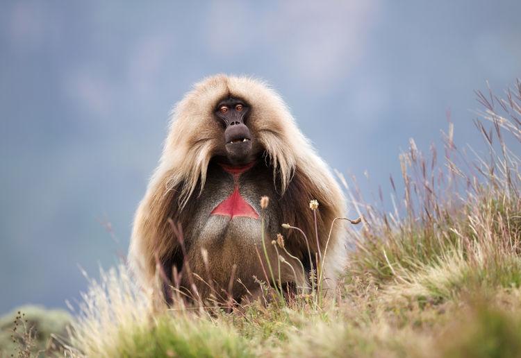 Gelada baboon on grass