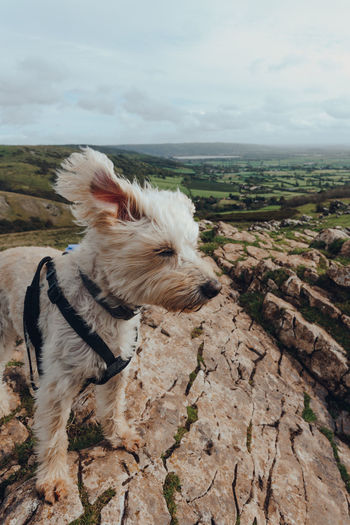 Cute white dog with ears flying in the wind on top of the crook peak in mendip hills, england, uk.
