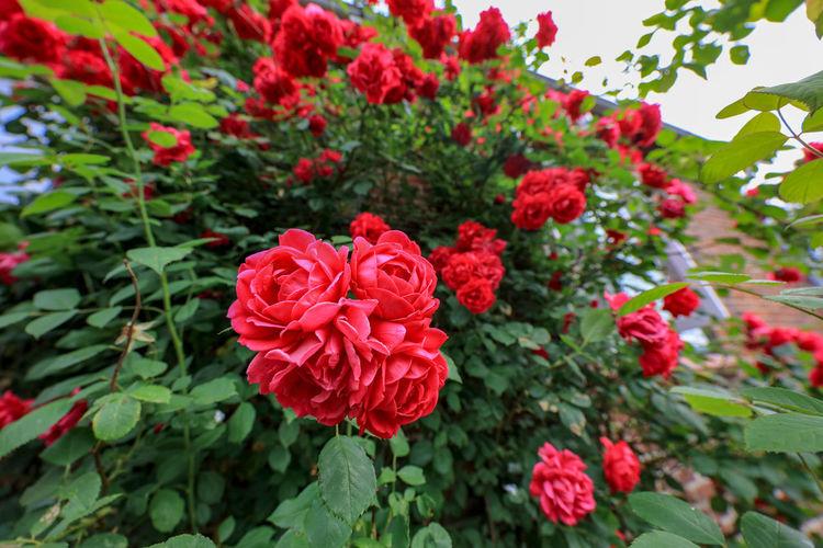 Dynamic Roses