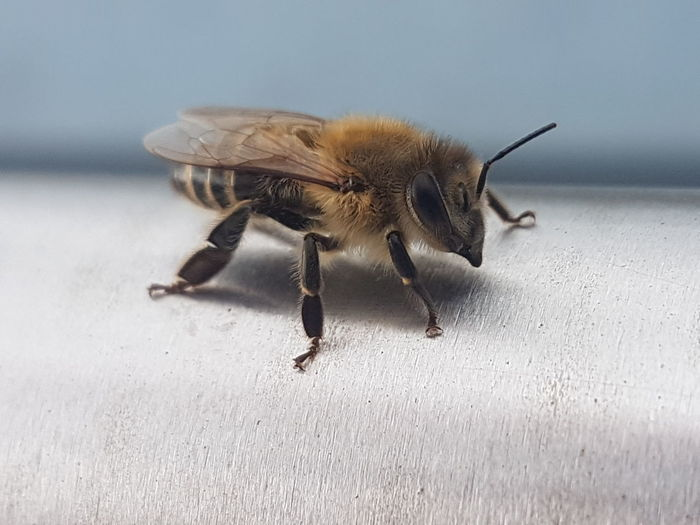 Bee Honey Bee Honey Maker Bee Insect Bugs Life Insect Animal Themes Close-up Animal Hair Animal Antenna
