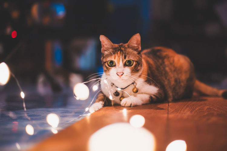 love me love my cat. Thailand Animal Animal Themes Cat Close-up Domestic Domestic Animals Domestic Cat Feline Focus On Foreground Illuminated Indoors  Looking At Camera Mammal No People One Animal Pets Portrait Selective Focus Table Vertebrate Whisker