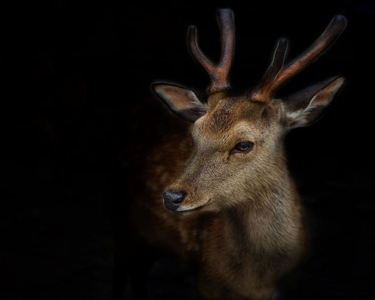 Animal Animal Body Part Animal Head  Dark Deer Mammal Nature Portrait