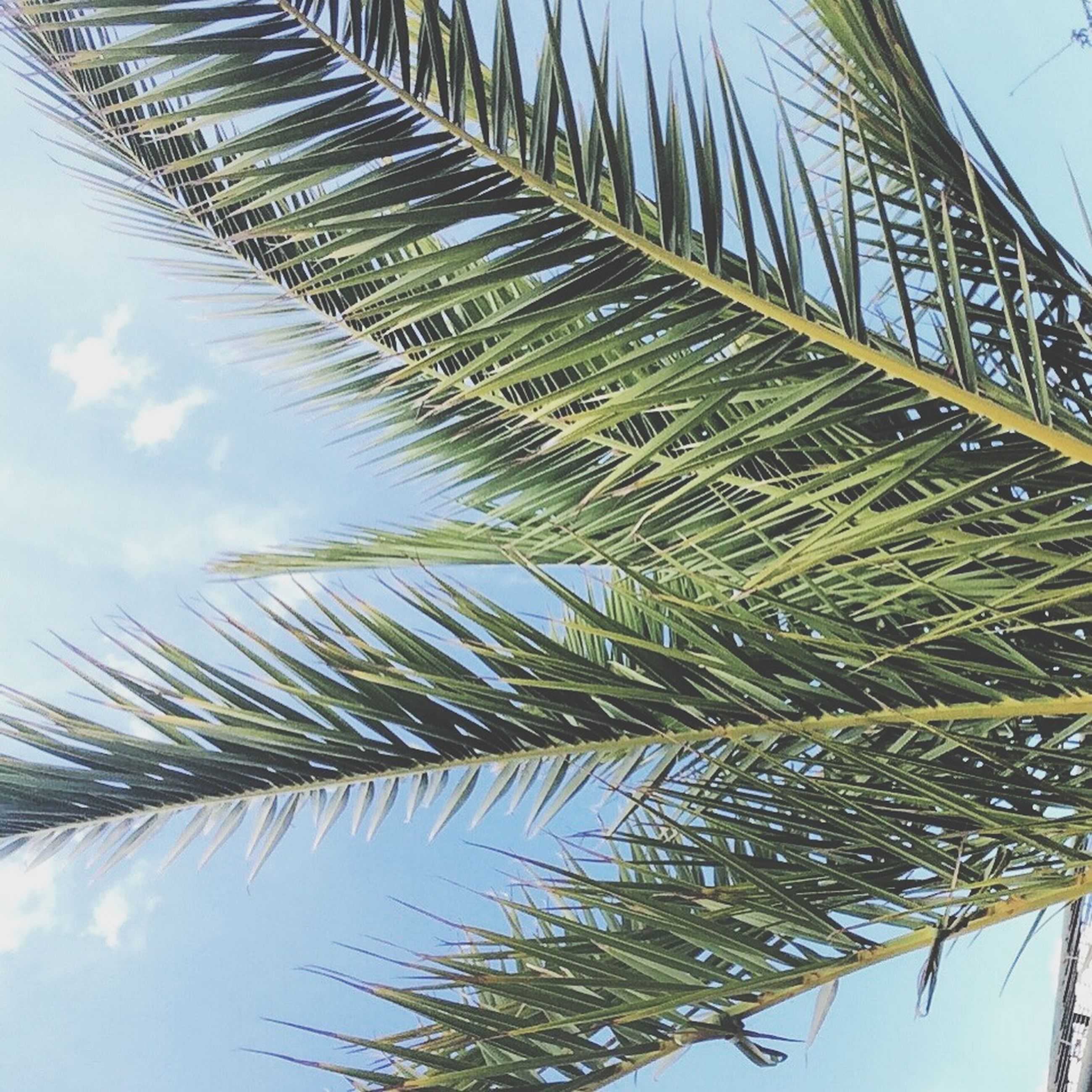 palm tree, growth, low angle view, palm leaf, tree, leaf, nature, sky, tranquility, green color, beauty in nature, day, coconut palm tree, tree trunk, outdoors, plant, no people, tropical tree, tall - high, scenics