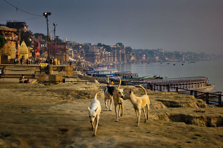 Wide angle shot of bunch of indian street dogs walking in the bay of ganges river bank