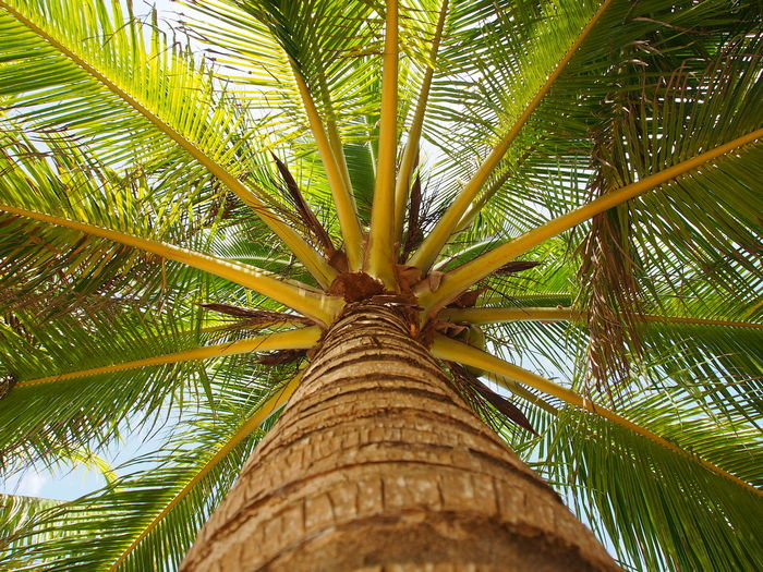 ASIA Beauty In Nature Climbing Trees Close-up Coconut Palm Tree Coconut Trees Full Frame Greentree Growth Leaf Low Angle View Nature Outdoors Palm Leaf Palm Tree Palm Trees Summer Summer Views Summerphotography Summertime Travel Travel Photography Travelling Tree Tree Trunk Live For The Story