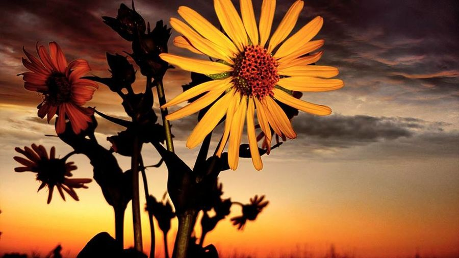 Beauty In Nature Black-eyed Susan Close-up Flower Flower Head Nature Outdoors Sunset Widflowers