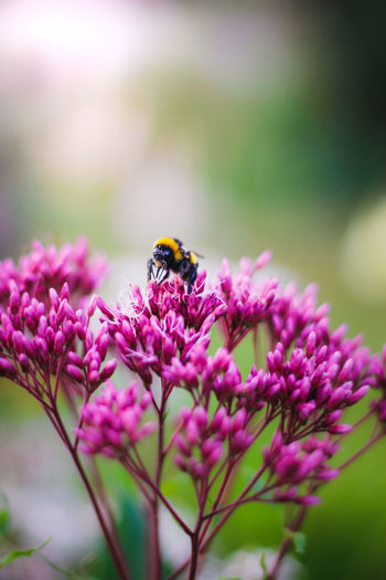 Close-up of bee pollinating on pink flower