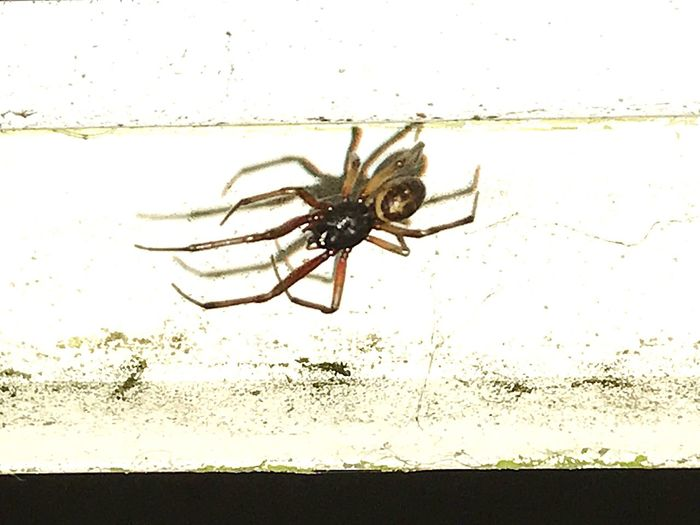 Spider Insect Close-up Arachnid Uk Species Many Legs False Widow Running Across My Door Frame Wildlife & Nature Don't Be Afraid ... don't look if you're scared