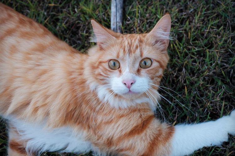 Portrait of cat lying on field