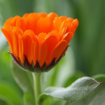 Mom 's Calendula in our Yard . Flowers Orange Picoftheday Photooftheday Parkroseoregon DroidRazr