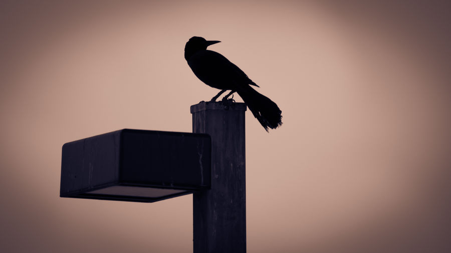 Silhouette Silhouette Animal Themes Animal Wildlife Animals In The Wild Bird Clear Sky Florida Lightpost Low Angle View Nature No People One Animal Outdoors Perching Raven - Bird Silhouette Sky Sunset