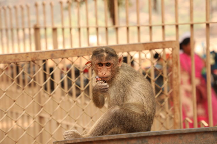 Portrait of monkey sitting on fence in zoo