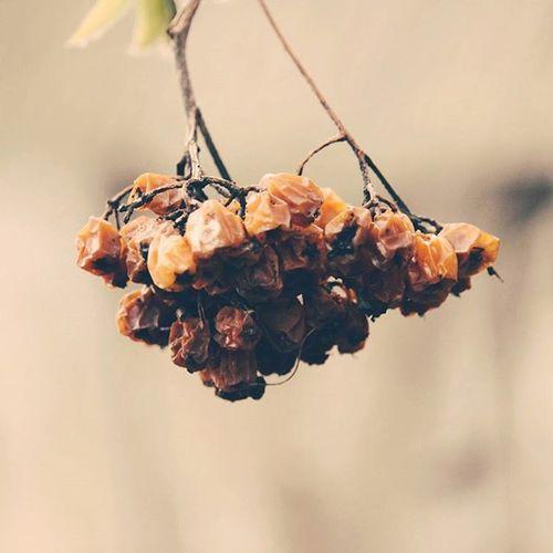 крепитесьлюдискоролето лето приближается рябина кремовый нежно легкость прошлогодняя рябина оранжевый пережитокзимы Summer Is Coming Summeriscoming Rowan Berry ягода Soft