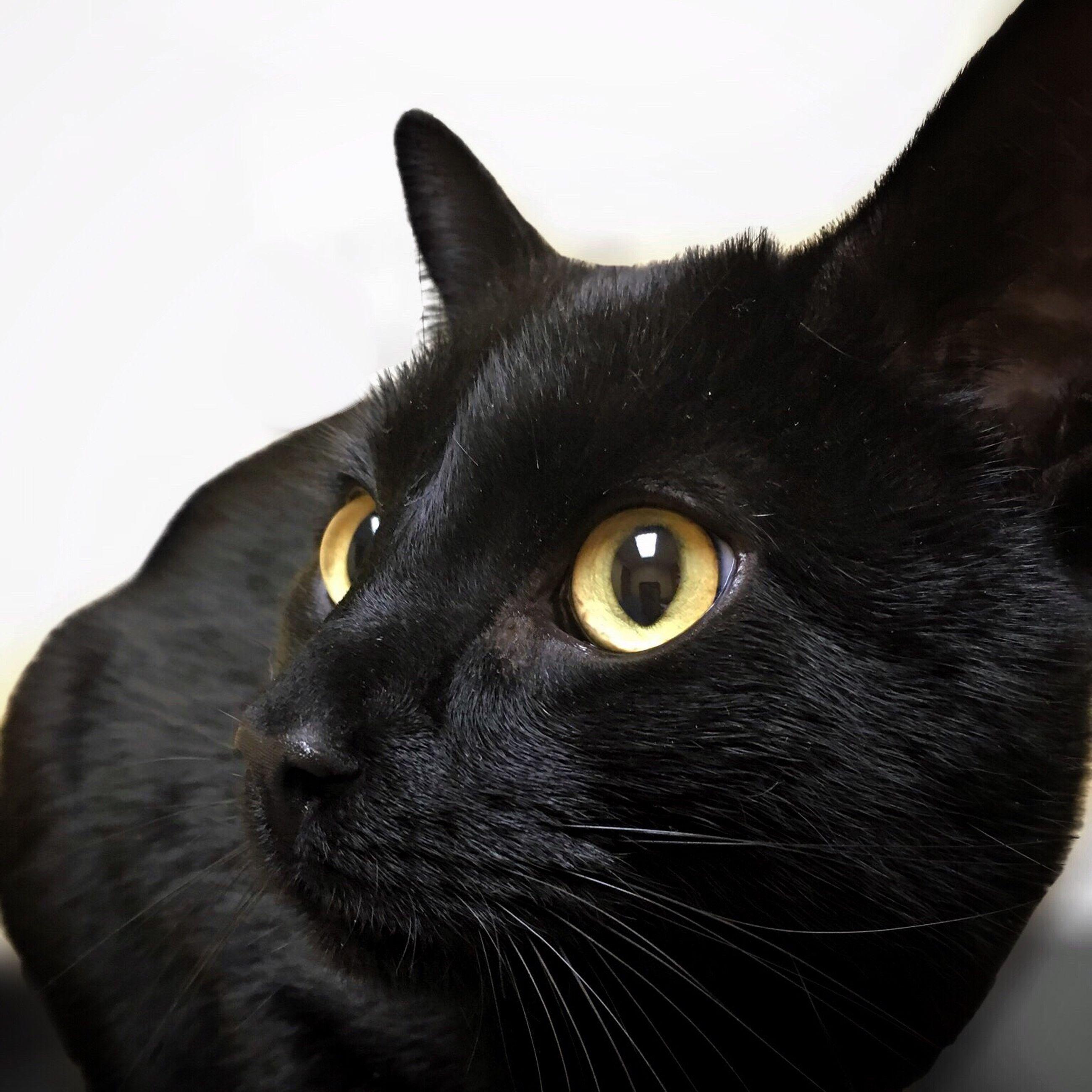 one animal, animal themes, domestic cat, pets, cat, domestic animals, feline, mammal, whisker, animal head, close-up, black color, animal eye, looking away, portrait, alertness, staring, animal body part, indoors