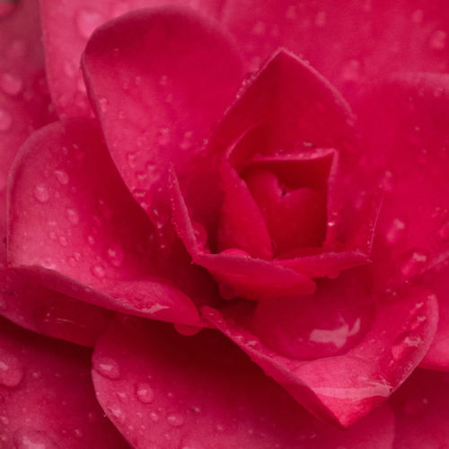 Close-up Color Palette Drop Flower Nature Petal Red Red Flower Water