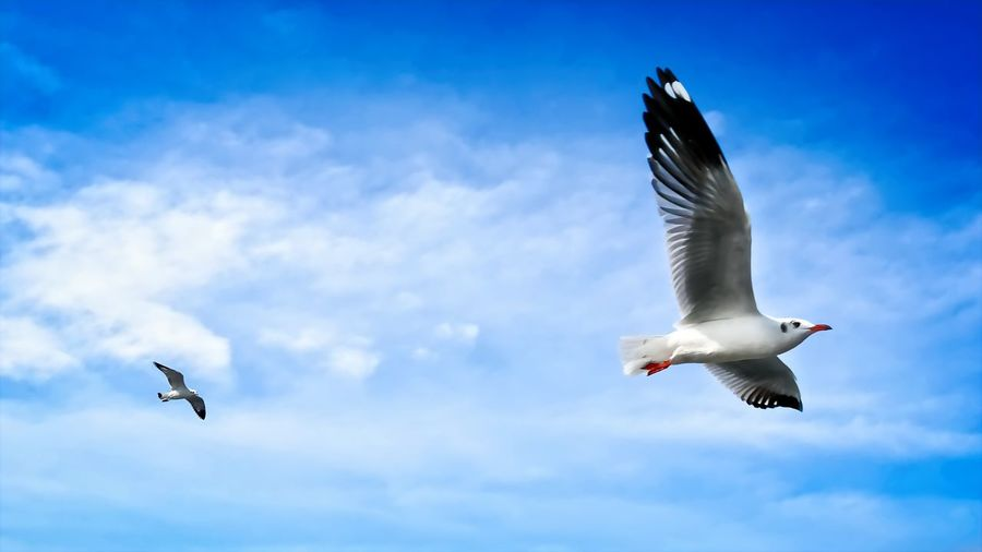 Freedom Life, Seagulls Flying in Blue Cloudy Sky Freebird Freedom Animal Themes Animals In The Wild Beauty In Nature Bird Cloud - Sky Day Flying Low Angle View Mid-air Motion Nature No People Outdoors Seagull Sky Spread Wings Go Higher