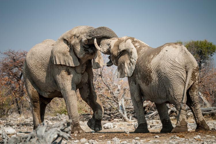 Elephant fighting on field
