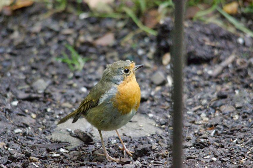 Bird Perching Animal Themes Close-up Robin