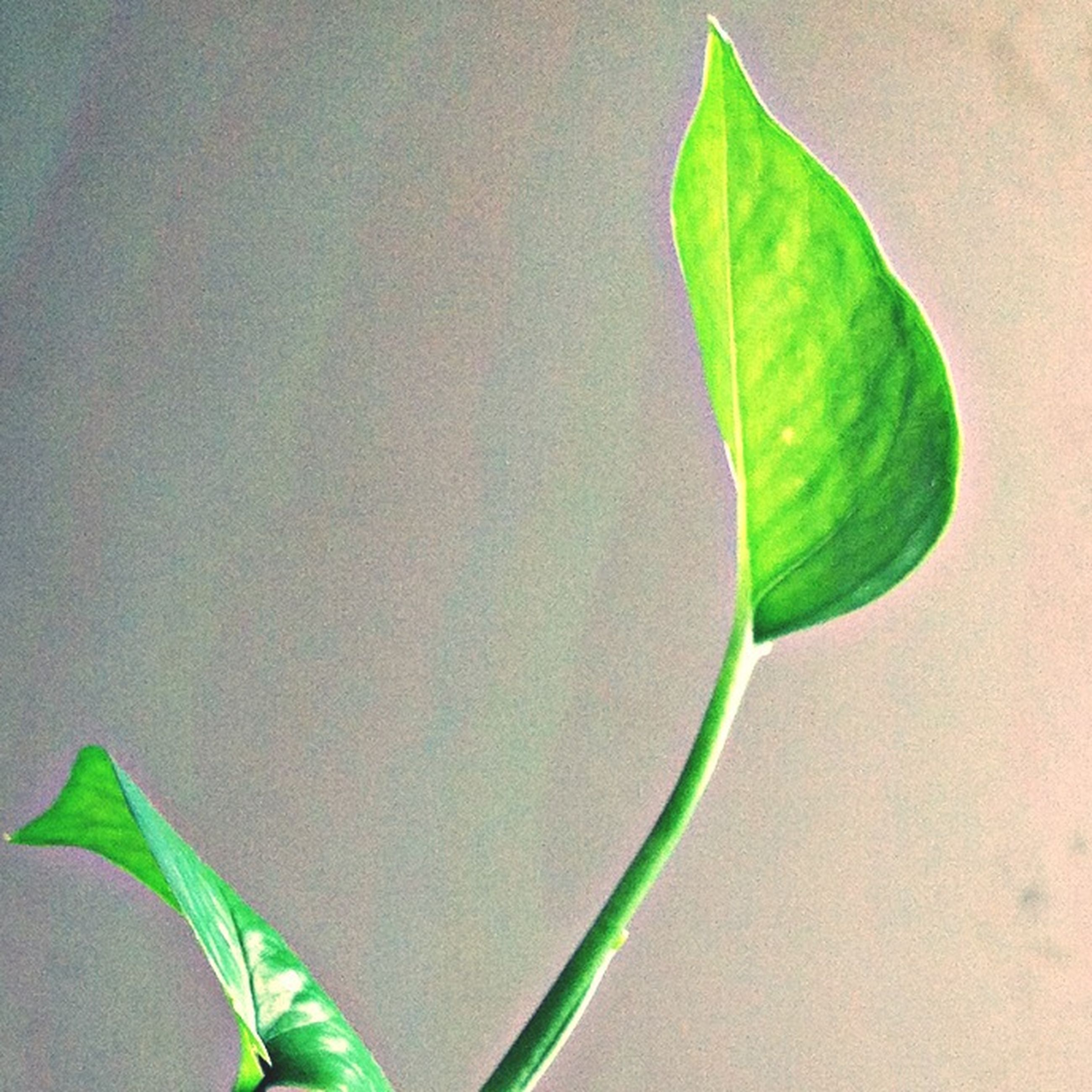 leaf, green color, leaf vein, close-up, stem, plant, nature, green, studio shot, single object, growth, wall - building feature, natural pattern, beauty in nature, fragility, no people, freshness, outdoors, day, copy space