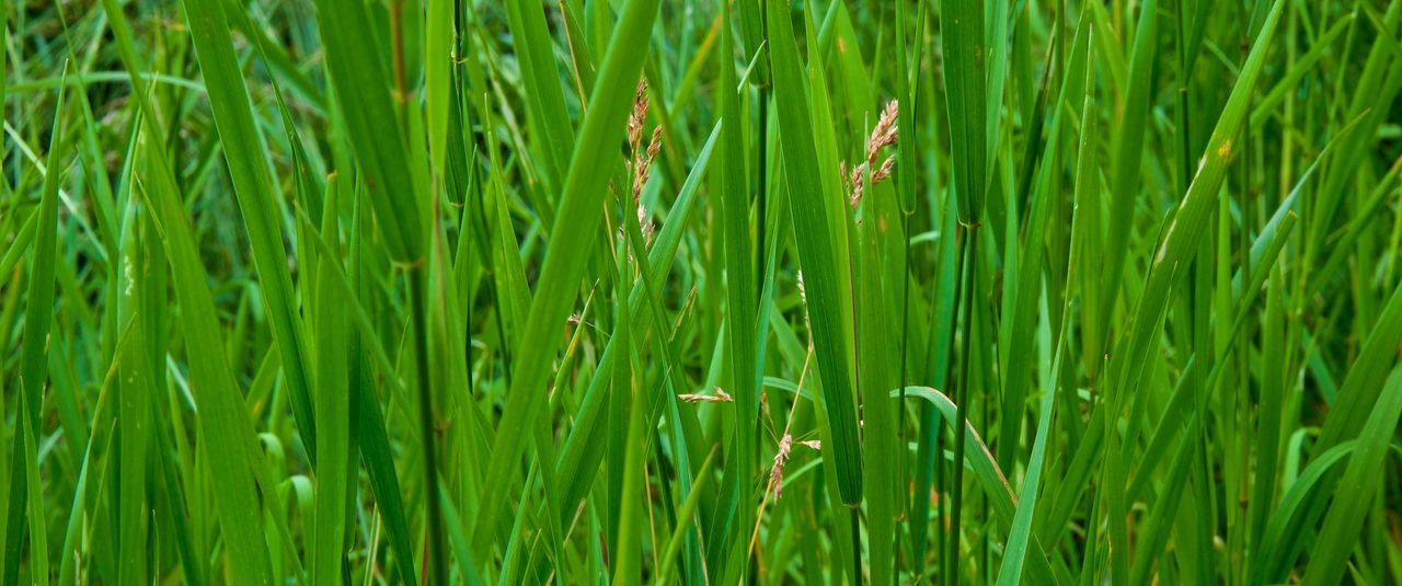 Grass ... Cereal Plant Day Grass Green Color Growth Nature No People Outdoors Plant