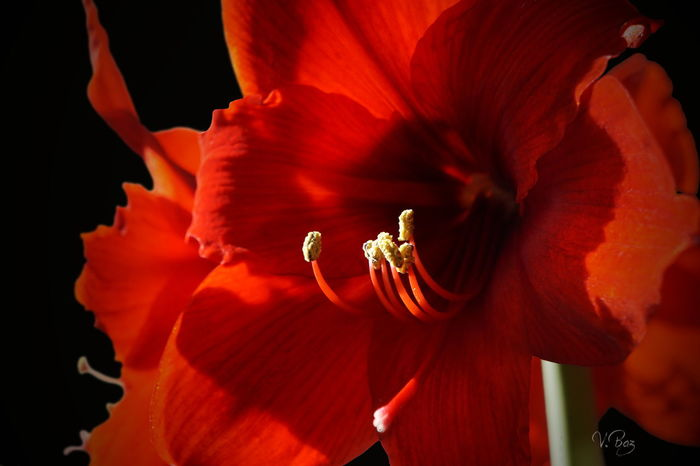 I wish you a great weekend! Red Passion For You ;-) and me 🌹 Flower Collection Darkness And Light EyeEm Best Shots Macro Beauty Bokehlicious Amaryllis Playing With The Light EyeEm Nature Lover Beauty In Nature Getting Creative Light And Shadow Elegance Everywhere Ladyphotographerofthemonth