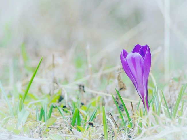 日だまり… 春 Spring クロッカス Flower Collection Nature Beauty In Nature EyeEm Nature Lover EyeEm Gallery Eyemphotography Taking Photos Springtime 日だまり EyeEm Best Shots - Nature