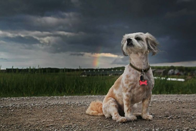 out following a storm with Muffin when the rainbow poked through at the perfect timeDog Rainbow Storm Clouds Country Road Dogphotography Perspective Dogmodel Dog Portrait Portrait Bestfriend Landscape Beauty In Nature Eyeemphotography Beauty Outdoors Creative Light And Shadow Calm After The Storm Cute Dog  Contrast Standing Alone Scenic Pet Portraits