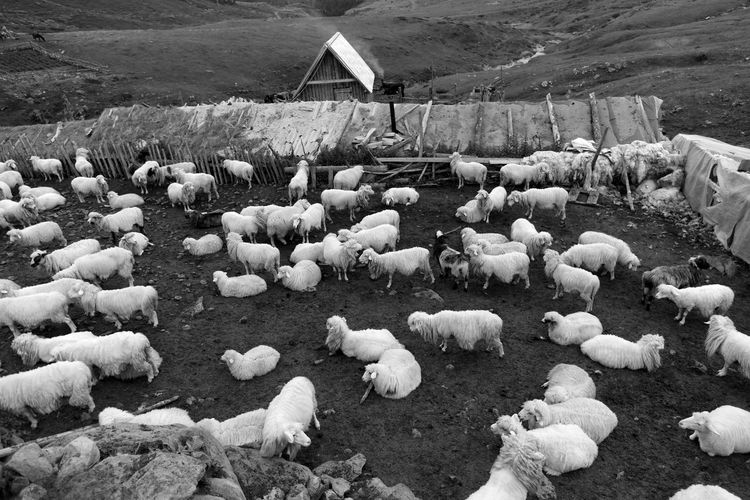 Flock of sheep on field during winter