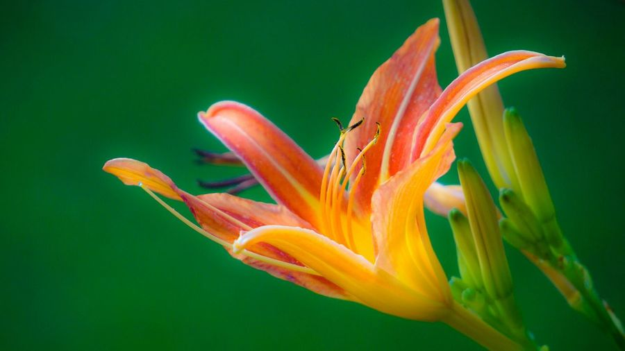 Close-up of day lily against green background