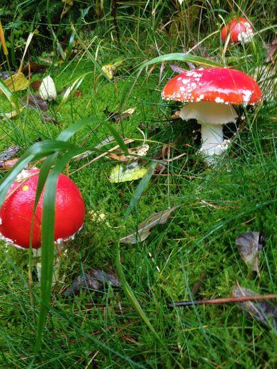 Close-up of mushroom growing on grassy field