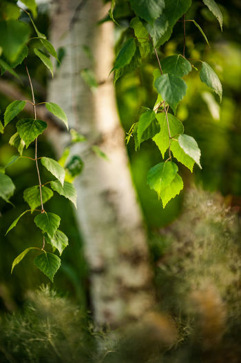 Backlight Beauty In Nature Birch Tree Branch Close-up Day Focus On Foreground Forest Freshness Green Color Growth Hair Lotion Land Leaf Leaves Nature No People Outdoors Plant Plant Part Selective Focus Sunlight Tranquility Tree