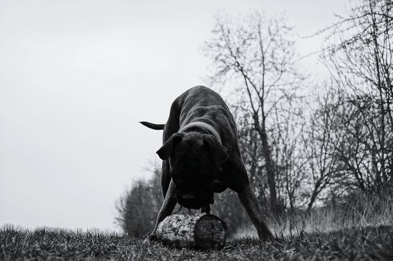 Boxer playing with log on grass in park