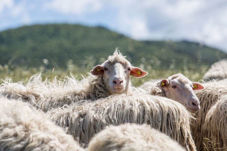 Animal Themes Beauty In Nature Day Domestic Animals Domesticated Animal Tag Exploring Grass Italy Livestock Looking At Camera Mammal Mountain Nature No People Outdoors Portrait Sheep Sky Travel Travel Destinations Travel Photography Traveling Tuscany Tuscany Countryside