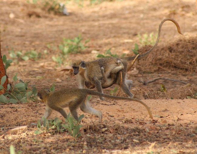 Family of 3 Nature Animals Travel Grass Africa Senegal Viajar This Is Family Safari Animals Raconets Animals In The Wild Animal Wildlife Group Of Animals Outdoors Animal Family Monkey Monkeys Run Moment Protection Family Together Mum