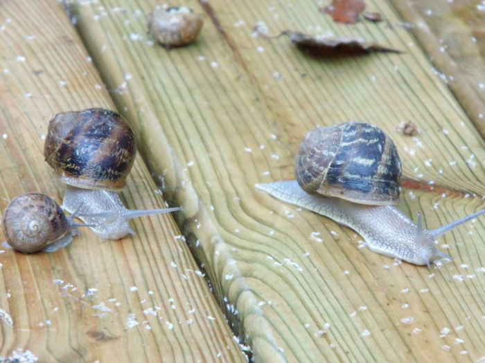 After The Rain Animal Themes Gastropod No People Snail Snail On Table Snails Wood
