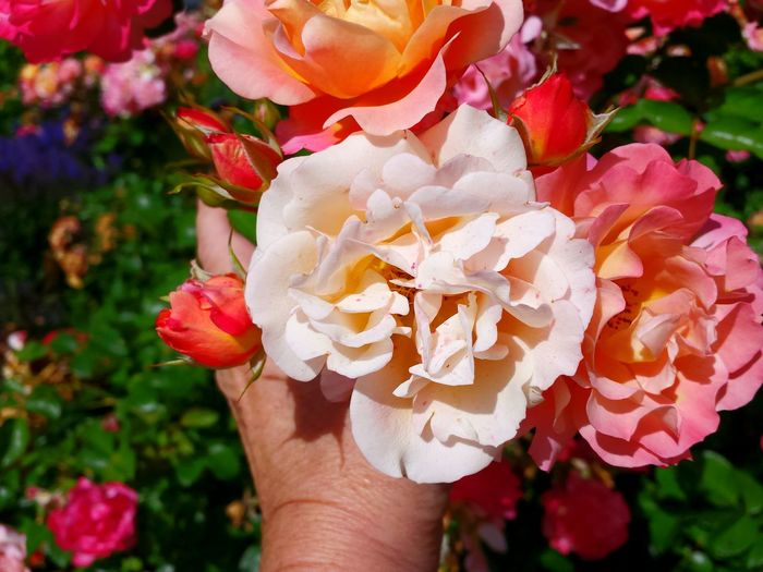 Roses Roses Are Pink Hand Holding A Rose Hand Holding Pink Rose Hand Holding Flower Holding A Rose Ladyphotographerofthemonth Colourful Flowers Colourful View Showcase July