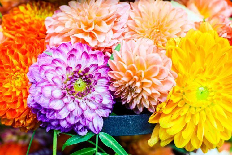 Close-up of dahlia flowers