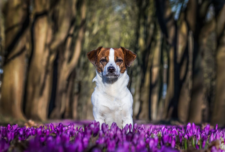 Little dog sitting in the middle of purple crocuses looking into the camera Animal Animal Head  Animal Themes Canine Crocus Crocuss Flower Day Dog Domestic Domestic Animals Flower Flowering Plant Growth Mammal Nature No People One Animal Pets Plant Portrait Purebred Dog Purple Selective Focus Tree Vertebrate