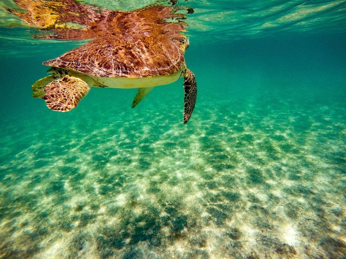Close-Up Of Turtle Swimming In Caribbean Sea. Turquoise Colored Sea Turtle Endangered Species Turtle Close-up Sunlight Animals In The Wild Swimming UnderSea No People Sea Life Animal Shell One Animal Caribbean Sea Marine Outdoors Underwater Beauty In Nature Animal Themes Clear Water Relaxation Ocean Life Turquoise Colored Tropical Nature Reptile