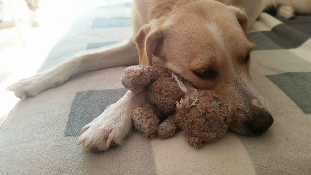 Doggy Love Animals Dogs Of EyeEm Stuffed Animals Loves Her Toys Dog Cute Pets Cuddling Cuddlebuddy Cuddle Time My Love Dogs Animal Themes Animal Pet Best Friends Play Resting